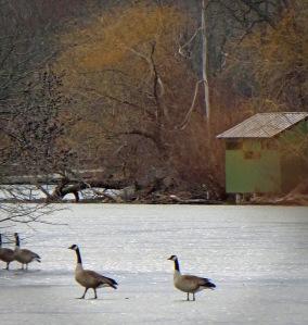 Geese Frozen