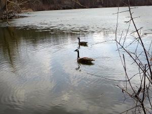 Geese Frozen2