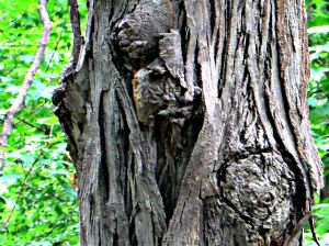 Can you see a face pushing it's way out of the tree (upper left) with a bit of a heart (lower right)